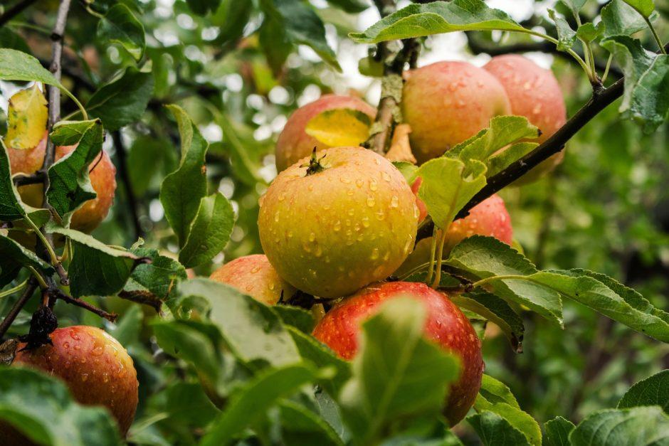 apple-4055926_1920
