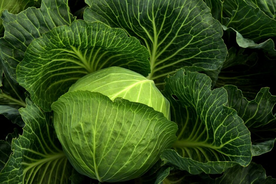 cabbage-3722498_1920