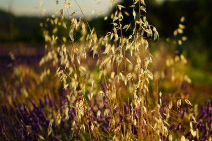 oats-1595552_1920