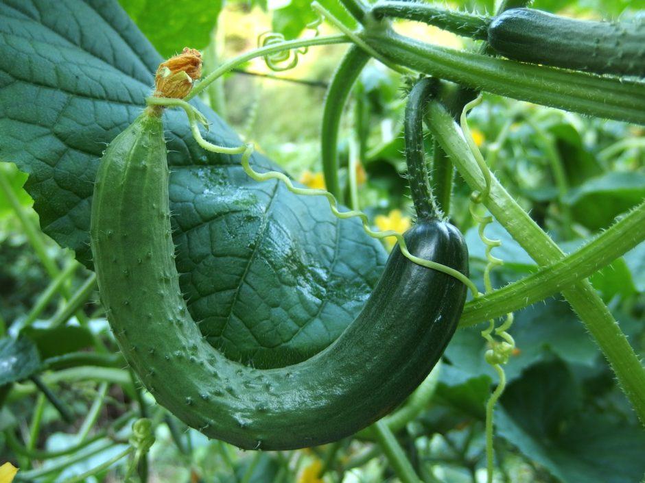 cucumber-1681504_1920
