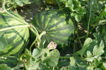 watermelon-1808136_1920