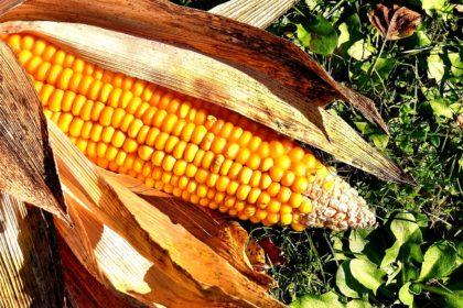 corn-on-the-cob-2204702_1920