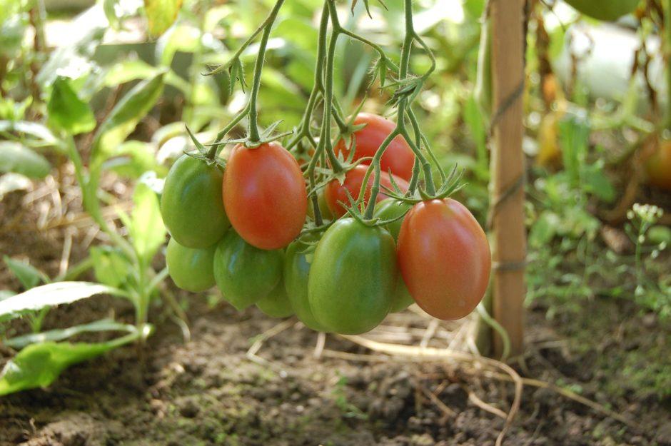 tomatoes-950723_1920