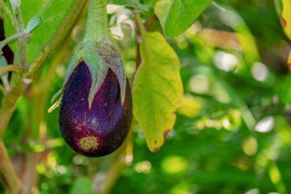eggplant-3705548_1920