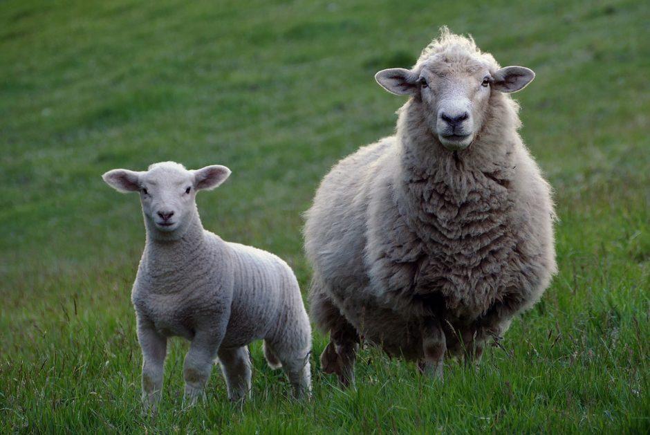 sheep-2625347_1920