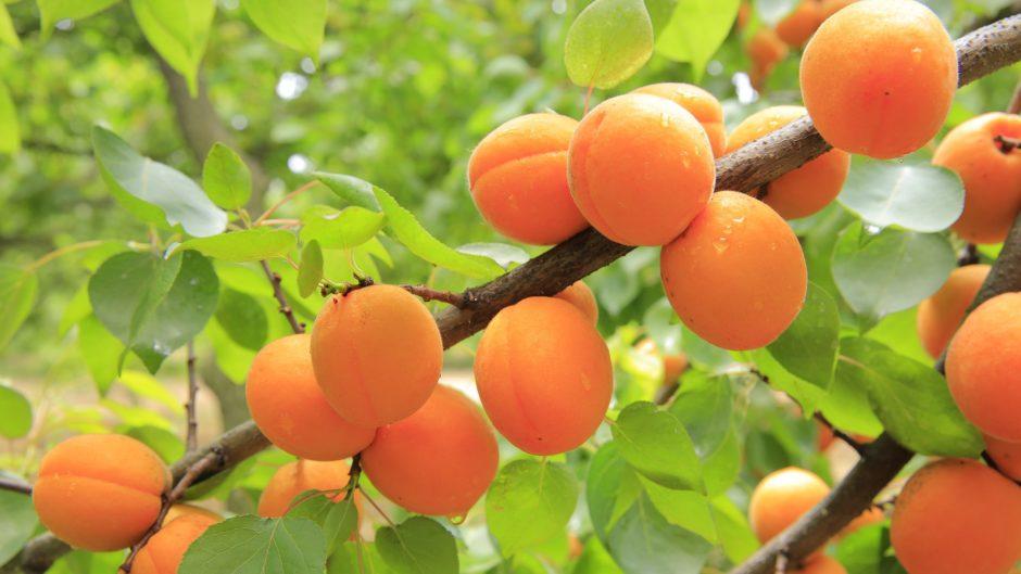 apricots-824626_1920