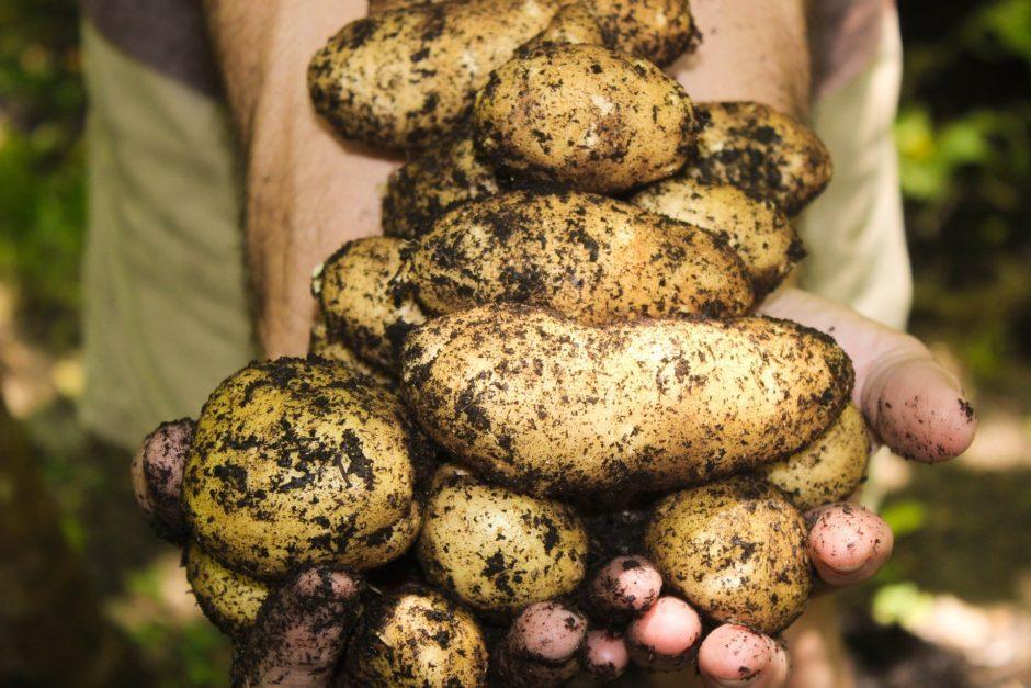 potatoes-1866415_1920