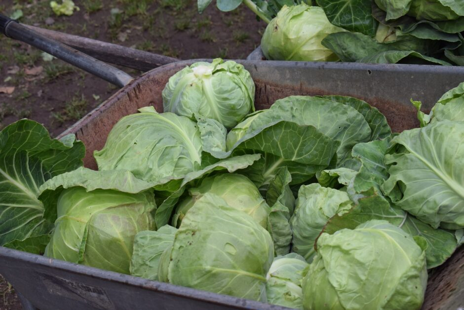 cabbage-2539966_1920