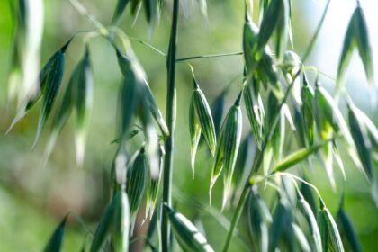 oats-5343463_1920