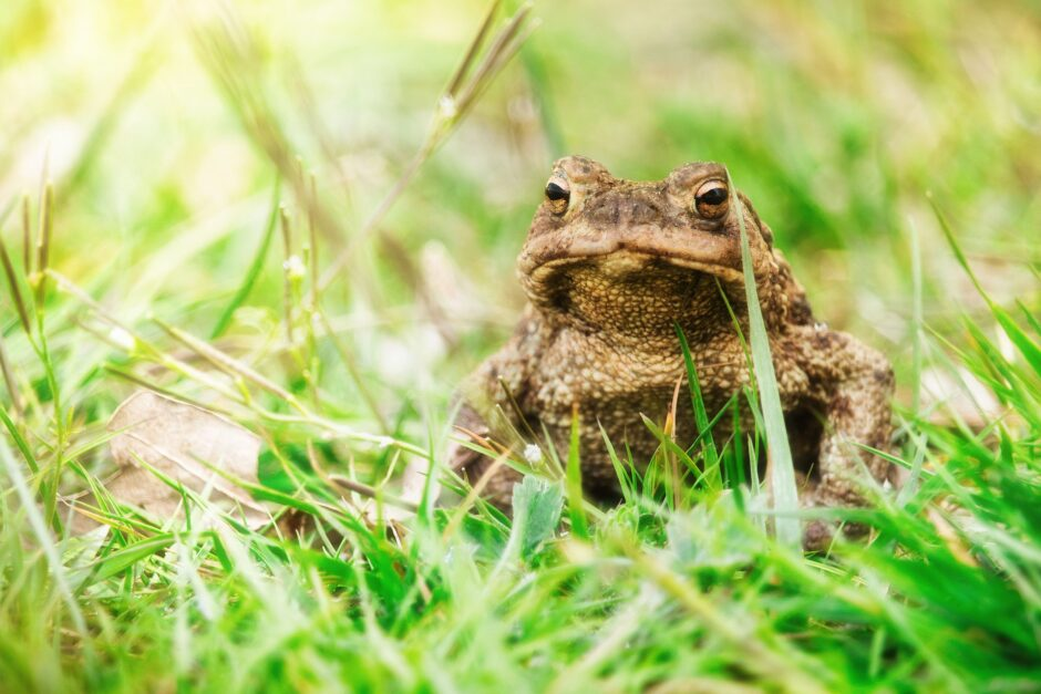 common-toad-5038043_1920