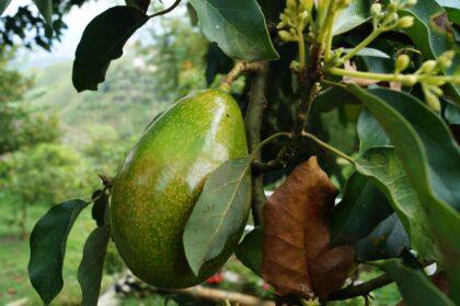 avocado-2192116_1920