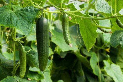 cucumbers-3809535_1920