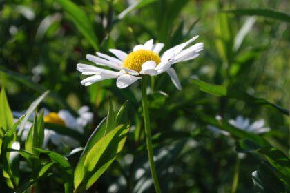 daisy-745089_1920