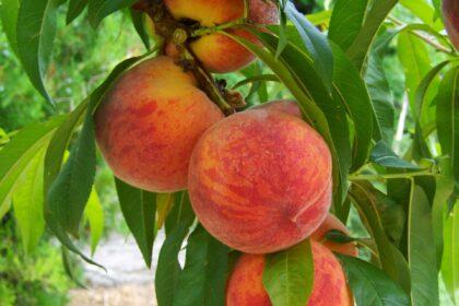 peach-846962_1920