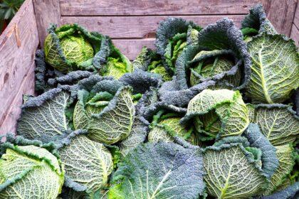 savoy-cabbage-5734750_1920